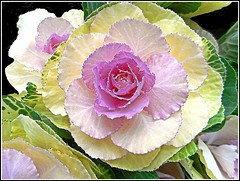 Ornamental Brassica.. (** Janets Photos **) Tags: uk plants flora flowers brassica ornamentalcabbage floweringkale