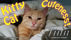 The Cuteness of Finn (youtube.com/utahactor) Tags: finn cat kitten gato cute adorable precious darling ginger blonde cinnamon video hd 4k sony youtube gingerkittiesfour website blog friendsofzeusandphoebe furbaby orange yellow red pink nose golden eyes whiskers
