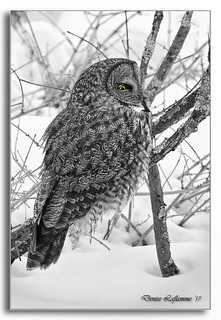 1E1A1252-3-DL-NB   Chouette lapone / Great Gray Owl.