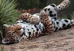 jaguar Rica artis JN6A3646 (j.a.kok) Tags: jaguar pantheraonca predator mammal kat cat rica artis artiszoo zuidamerika southamerica zoogdier
