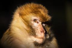 barbary macaque (maaddin) Tags: barbarymacaque berberaffe macacasylvanus naturzoorheine