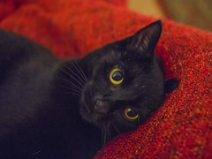 IMG_7671 (BalthasarLeopold) Tags: animal animals blackcat blackcats cat cateyes cats closeup dephtoffield dof feline felines indoorcat kitten kittens leopold mammal pet pets