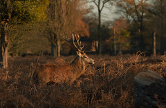 Red-Deer-2180 (Kulama) Tags: reddeer deer stag sunrise nature wildlife woods bracken fern animals canon7d canon400mm56