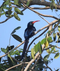 green wood-hoopoe in accra at erata hotel (Pete Read) Tags: green woodhoopoe accra erata hotel ghana