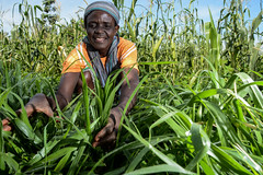 """Forage production and ICIPE """"push-pull"""" system in Western Kenya"""