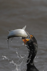 Double-crested Cormorant w/fish (Greg Lavaty Photography) Tags: doublecrestedcormorant phalacrocoraxauritus texas february fish mullet texascity dike outdoorphotography birdphotography