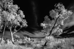 Dream (erglis_m (Mick)) Tags: blackandwhite bw tree 20d contrast canon landscape ir blackwhite interesting nt fineart australia canoneos20d infrared australianlandscape eos20d northernterritory infraredfilter theoutback tanami tanamitrack tanamidesert lajamanu theaustralianoutback