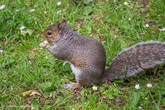 grey squirrel. (andyp178) Tags: cute nature animal grey squirrel tail peanut