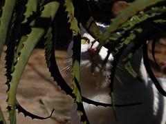 Branca (Gigica Machado) Tags: ninja kitty gato whitecat branca gatobranco