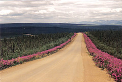 Dempster Highway fireweed-lined - Eagle Plains (indigo_at_heart) Tags: road flowers trees mountains weed highway arctic yukon arcticcircle eagleplains fireweed dempsterhighway stunted