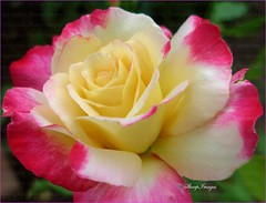 Beautiful Rose (sh10453) Tags: usa beauty rose garden colorful michigan oakpark