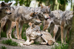 2015-06-27-10h18m24.BL7R5207 (A.J. Haverkamp) Tags: zoo thenetherlands dierentuin canislupus annapaulowna europeanwolf europesewolf canonef300mmf4lisusmlens hoenderdaell landgoedhoenderdaell httpwwwlandgoedhoenderdaellnl