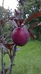 WP_20150704_16_02_28_Refocus (alejandro0669) Tags: plum ciruela redplum ciruelaroja