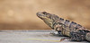 ctenosaura similis (Bernal Saborio G. (berkuspic)) Tags: nature costarica reptile wildlife iguana tropicalrainforest garrobo spinytailiguana