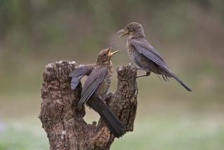 Blackbird (Turdus merula) juveniles