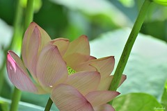 Hide & Seek.. (Shubhashish Chakrabarty) Tags: pink summer green japan lotus hide yokohama seek sankein
