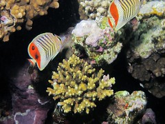 Schnorcheln in Ägypten (Dorothee Rund) Tags: red sea coral golf meer underwater gulf dahab von egypt snorkeling tropic reef aqaba rotes schnorcheln tropisch korallenriff äfypten