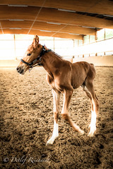 first time (halter) (D.Reichardt) Tags: horse germany europe young first