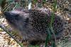 Young Hedgehog - Erinaceus europaeus (SAMARA:) Tags: garden mammal scotland july glentrool erinaceuseuropaeus erinaceinae