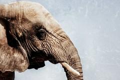 El corazn no envejece, es el cuero el que se arruga (Japo Garca) Tags: naturaleza elephant textura blanco valencia animal zoo dumbo cielo cabeza zoolgico capo elefante piel mamfero arrugas orejas bioparco gruesa colmillo bioparc