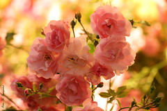 A rose lover's dream (K. Haagestad) Tags: pink flowers light roses summer petals bokeh queenrose