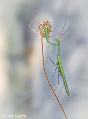 gigantes (gatomotero) Tags: olympusomdem1 mzuiko60 verde mantido mantis mantisreligiosa ramas colgada verano ambiente nature posado mirada