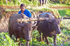 Java (O!i aus F) Tags: asien java indonesien vulkan osm k7 k5 büffel wasserbüffel wasser reis
