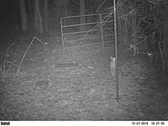 Christmas bobcats! (Vicki's Nature) Tags: bobcats mammals wild three m2e1l027r350b300 rare yard georgia gate vickisnature ek008319 night nocturnal christmas december winter family bushnell trailcam
