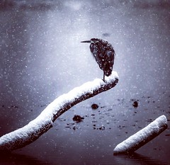 Loner in the snow (sambryan555) Tags: vancouver deerlake bird snow cold lonely