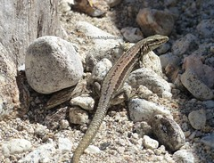 Another Wall Lizard (Thrush-Nightingale) Tags: lézard des murailles lézarddesmurailles common commonwalllizard wall lizard podarcismuralis podarcis muralis animal reptile wildlife sauvage gorges héric hérault