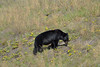 DAISY AND THE BEAR  -  (Selected by GETTY IMAGES) (DESPITE STRAIGHT LINES) Tags: nikon d800 nikond800 nikkor200500mm nikon200500mm nikongp1 paulwilliams despitestraightlines flickr gettyimages getty gettyimagesesp despitestraightlinesatgettyimages bear blackbear adultblackbear wildanimal wildbear claws paw paws fur nature mothernature ursusamericanus animalia carnivora prophetriver muskwa