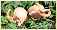 Greater flamingo (EI-AMD Aviation Photography) Tags: singapore zoo the greater flamingo phoenicopterus roseus widespread family africa indian middle east southern europe