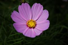 Winter Flowers (RandomIbis2k12) Tags: canon 6d taiwan yilan nature macro flower flowers lilla purple