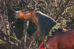 Funny horse (giulia_basaglia) Tags: stallion horse cavallo caballo pferde christmas winter daylight light nature trees decorations festive seasonal portrait outdoor countryside