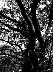 Tree (Mind/Portal) Tags: nokton35f14 black white bw tree leafs imposing nature steady hardy eternal