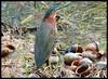 Green Heron (Dusty_73) Tags: green heron apple snail snails bird wildlife nature outdoors polk county florida fl usa natural circle b bar ranch reserve lakeland