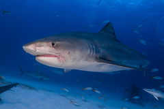Tiger Shark - The Bahamas (lucien_photography) Tags: rouge requin shark tigershark blue sea ocean bahamas tigerbeach fish underwater closeup portrait animal diving scubadiving water reef westend grandbahama jaws