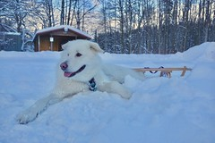 Sunset on a Happy Heart (grisswife) Tags: mush sunset snow sled dog malamute
