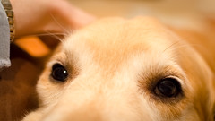 Windows to the Soul (bztraining) Tags: dogchal odc zachary bzdogs bztraining golden retriever 3652017 7daysofshooting week27 abooktitle focusfriday