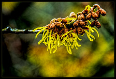 Blooming witch hazels are the attraction in the winter garden. The shrubs show their bright yellow to red flower pile from the beginning of January in mild weather. (scorpion (13)) Tags: yellow witch hazel shrub buds blossom color creative photoart frame nature winter blur