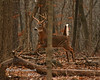 Lover's Leap (larry kapellusch) Tags: deer whitetail buck wildlife nature