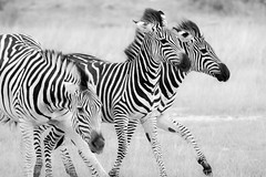 Zebra action (thomas.reissnecker) Tags: travel bw africa safari africanbushcamps somalisa simbabwe hwange zebras