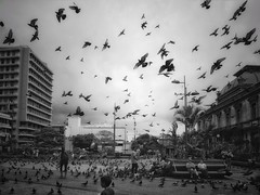 Fly (Costa Rica Bill) Tags: monochrome street city fly pigeons