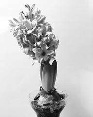bulb 001 (richard-am) Tags: bulb flower bloom petals lavender monochrome stilllife hyacinth