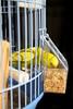 periquito (nunofrgr) Tags: bird gaiola cage