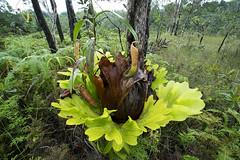Nepenthes kampotiana & Platycerium (Arddu) Tags: nepenthes cambodia carnivorous plant flora
