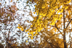 Ginkgo trees (ExceptEuropa) Tags: canon6d ginkgo minoltamcrokkorpg58mmf12 asia bokeh canon china chinese city culture fall leaves manualfocus minolta photographer photography prime shanghai travel trees winter 上海 中国