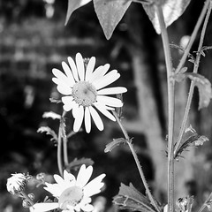 Daisy I (Richard Reader (luciferscage)) Tags: bw flower monochrome june daisies mono daisy incamera 2015 xpro1 richardreader fujifilmxpro1