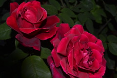 How is everyone? (Brittany Bevard) Tags: red beautiful rose redrose greenleafs