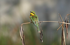 A87A8798 Little bee-eater (steve.ray50) Tags: gambia 2015